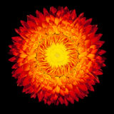 Everlasting Strawflower Flower Isolated Royalty Free Stock Photography