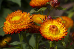 Everlasting or strawflowers Royalty Free Stock Photos