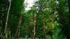 Everning i trät Strålar för sol` s passerar till och med träden arkivfilmer