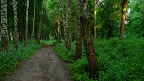 Everning i trät Strålar för sol` s passerar till och med träden stock video