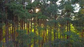 Everning in the wood. Sun`s rays pass through the trees stock footage