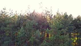 Everning in the wood. Sun`s rays pass through the trees stock video footage