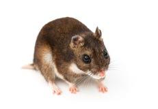Eversmann's hamster Stock Photography