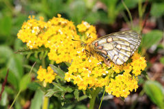 Eversmann's Parnassian butterfly Stock Images
