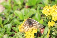 Eversmann's Parnassian butterfly Royalty Free Stock Photos