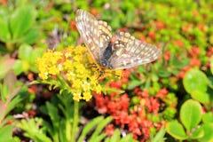 Eversmann's Parnassian butterfly Stock Photography