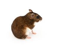 Eversmanns hamster Royaltyfria Foton