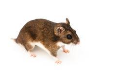 Eversmanns hamster Arkivbild