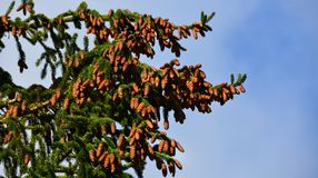 Abundance of Evergreen Pinecones in NYS. Every few years pine trees will grow an abundance of pinecones, depending on previous years insect damage. Blue sky Royalty Free Stock Image