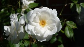 White rose close-up in the summertime royalty free stock photography