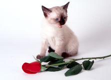 Every Rose Has its Thorn. Kitten with Rose Royalty Free Stock Photo