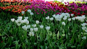 Every year in may on the Elagin island of St. Petersburg held a festival of tulips.These photos were taken in 2018. royalty free stock photo