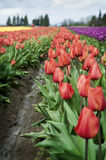 Skagit Valley Tulips. Every year in the Skagit Valley of western Washington, the tulips emerge and the farmers hold a festival for flower lovers Royalty Free Stock Image