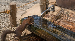 Everybody needs water. Chipmunk is drinking. Royalty Free Stock Photography