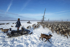 Everyday life of Russian aboriginal reindeer herders in the Arctic. Royalty Free Stock Photo