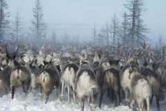 Everyday life of Russian aboriginal reindeer herders in the Arctic. Royalty Free Stock Images