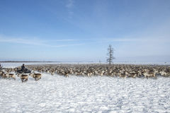 Everyday life of Russian aboriginal reindeer herders in the Arctic. Royalty Free Stock Photography