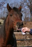 Everyone likes a cool one. Arabian stallion drinking beer from a can Stock Photography