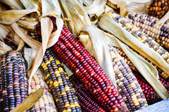 Everything Corn. Ears of different kinds of Indian corn royalty free stock images