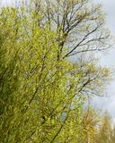 Everything is light green and yellowish. Spring is here! the leaves are thinning trees, everything is light green and yellowish; trees in the spring on a blue Stock Photography