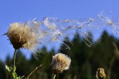 Everything passes... Thistledown, a method of seed dispersal by wind. The tiny seeds are a favorite of small birds Stock Image