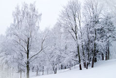 Everything is white. Snowy landscape, every branch is covered with snow Royalty Free Stock Image