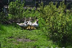 Goose little chicks in the garden. Everywhere is green grass and bushes In the background is a wooden fence Royalty Free Stock Photo