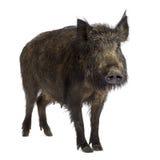 Everzwijn royalty-vrije stock foto's