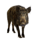 Everzwijn royalty-vrije stock fotografie