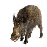 Everzwijn Stock Fotografie