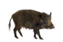 Everzwijn Stock Afbeelding