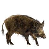 Everzwijn stock foto