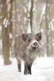 Everzwijn Royalty-vrije Stock Afbeelding