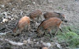 Everzwijn - biggetjes Stock Afbeeldingen