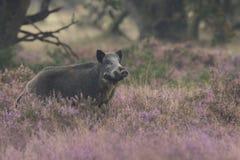 Everzwijn in bloeiende heide Royalty-vrije Stock Fotografie