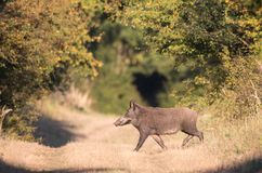 Everzwijn in bos Royalty-vrije Stock Foto