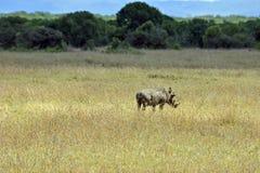 Een vechter in de savanne Stock Foto