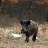Everzwijn in de winter Royalty-vrije Stock Foto