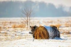 Everzwijn in de winterlandschap royalty-vrije stock afbeeldingen