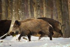 Everzwijn die in het bos lopen Royalty-vrije Stock Fotografie