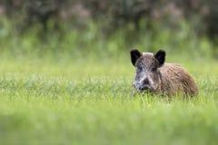 Everzwijn in een opheldering royalty-vrije stock foto's