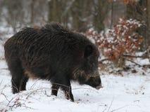 Everzwijn in een sneeuwbos Stock Foto's