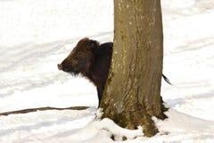 Everzwijn het verbergen achter boom Stock Foto