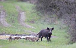 Everzwijn met biggetjes op weide Royalty-vrije Stock Afbeeldingen