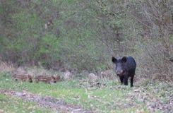 Everzwijn met biggetjes op weide Stock Foto