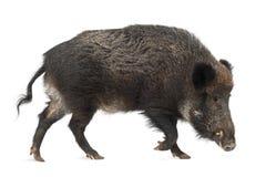 Everzwijn, ook wild varken, scrofa Sus royalty-vrije stock afbeeldingen