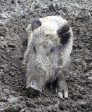 Everzwijn op modder Stock Afbeelding