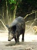 Everzwijn (scrofa Sus) Stock Afbeelding