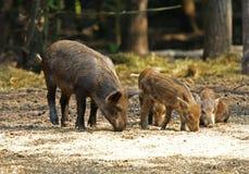 Everzwijn (scrofa Sus) Royalty-vrije Stock Fotografie