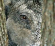 Everzwijn (scrofa Sus). Stock Afbeeldingen